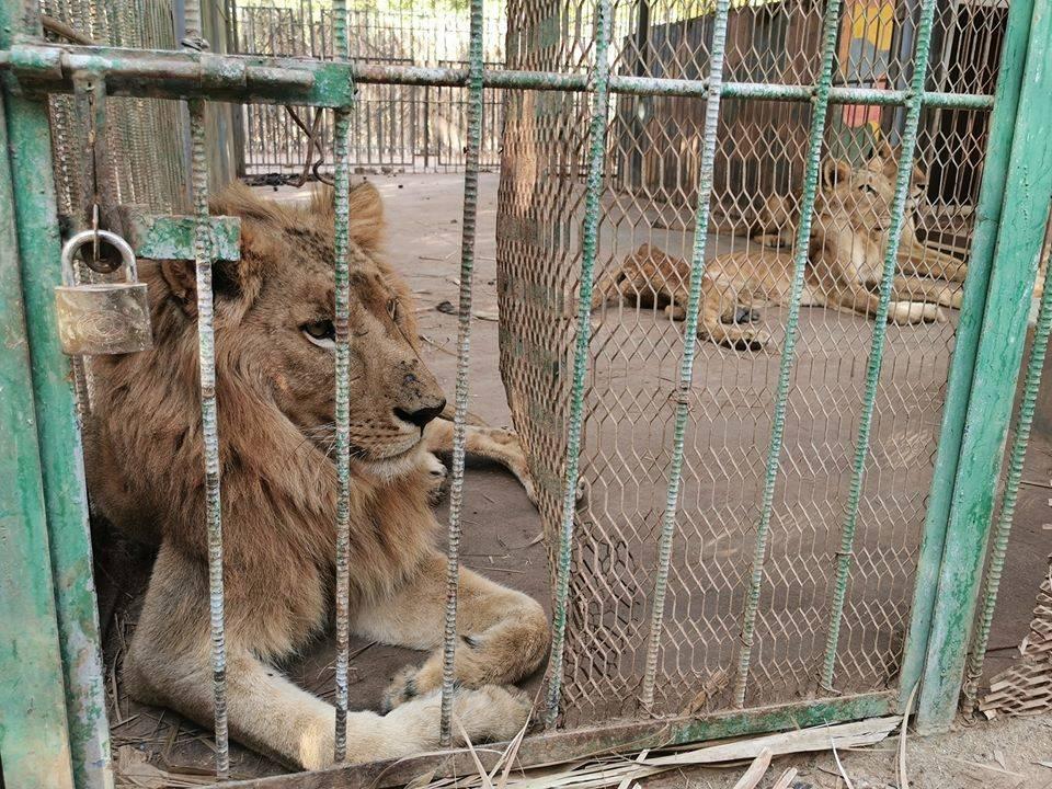 Murió una leona desnutrida en un zoológico de Sudán