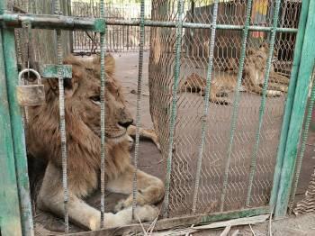 leones sudan
