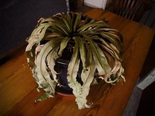 Cómo recuperar una planta seca
