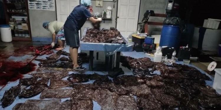 La ballena piloto murió el viernes luego de vomitar cinco bolsas de plástico