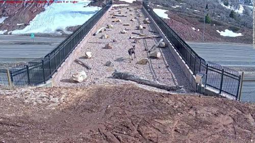 Construyen un puente para que animales silvestres puedan cruzar la carretera en Utah