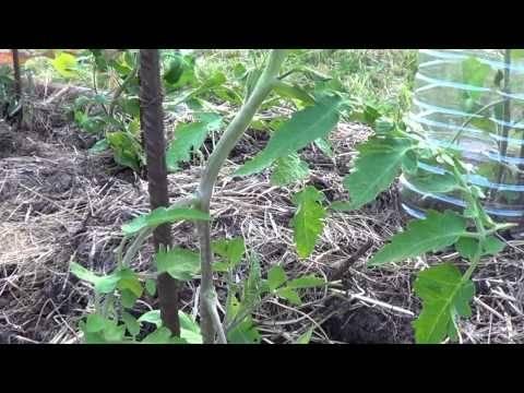 Como Podar Y Quitar Los Chupones Al Tomate