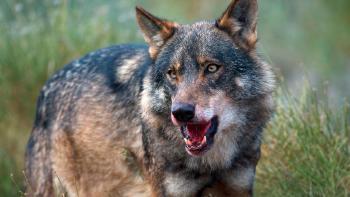 Perro asilvestrado en Tierra del Fuego