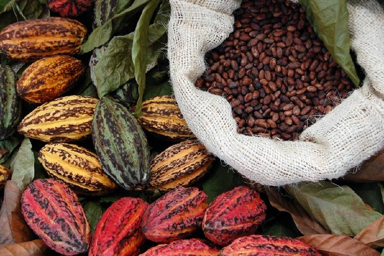 cacao cultivo