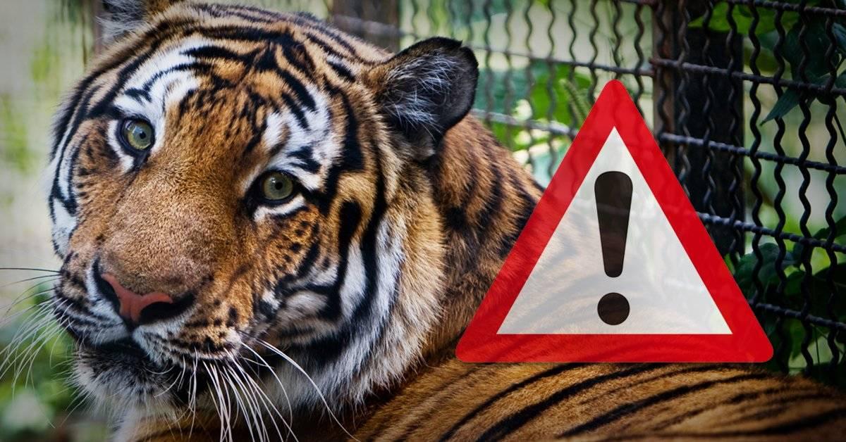 Estaban matando tigres en el corazón de Europa: esto pasaba en un cruel matadero que quedó al descubierto