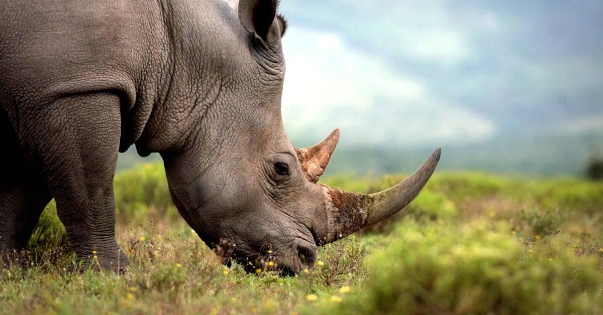 ¡Buenas noticias! Confirman el aumento de la población de rinocerontes en Nepal