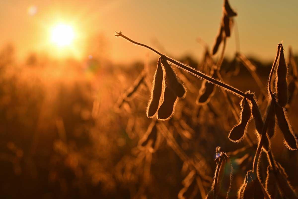 La demanda europea por el aceite de soja podría cuadruplicarse