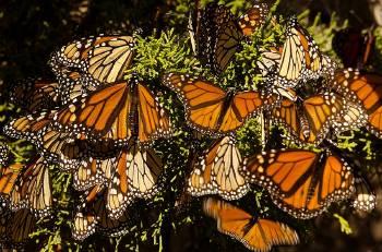 mariposa-monarca-significado