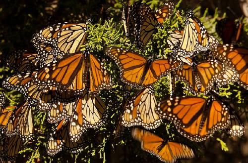 El hermoso momento en el que millones de mariposas migraron a México