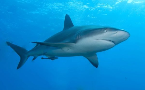 Caribbean-reef-shark