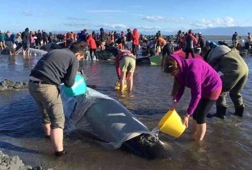 Cientos de personas intentan salvar a más de 400 ballenas varadas en Nueva Ze..