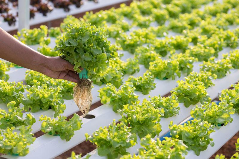 Cómo pasar del cultivo en tierra a la hidroponía en 5 simples pasos