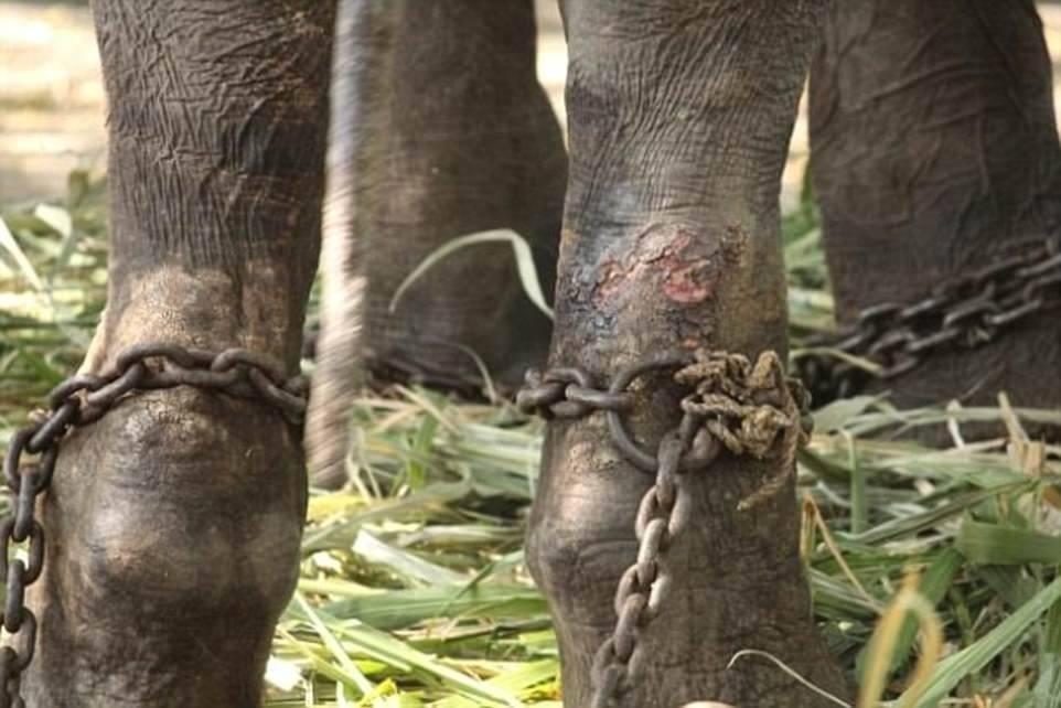Este elefante fue liberado después de medio siglo de maltratos y así festeja..