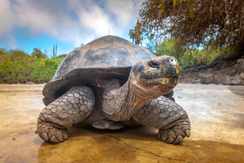 Encuentran una tortuga en Galápagos que creían extinta hace un siglo