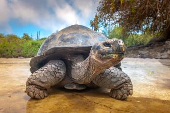 Una tortuga en Galápagos