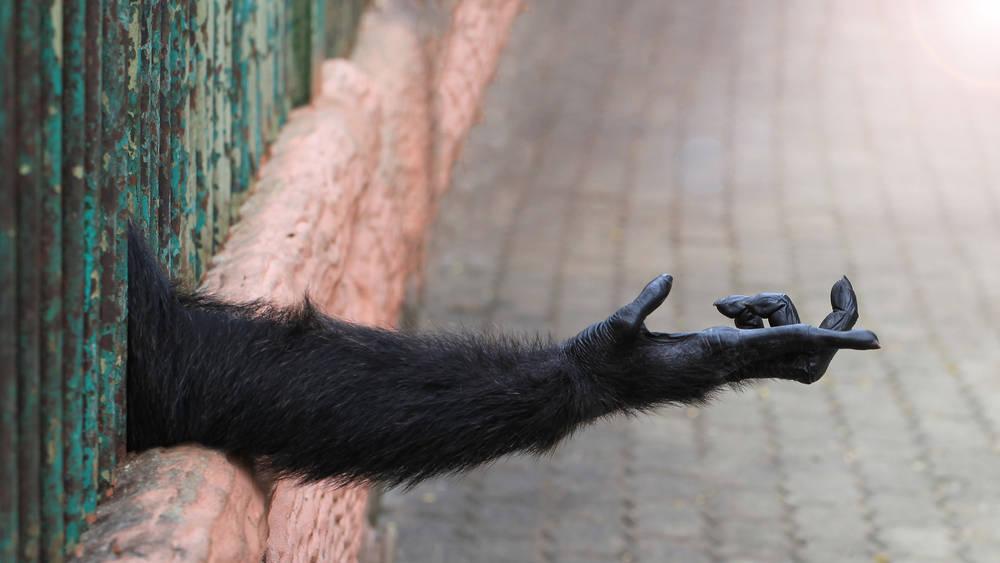 Crueldad animal: pagan hasta 400 mil dólares por simios traficados