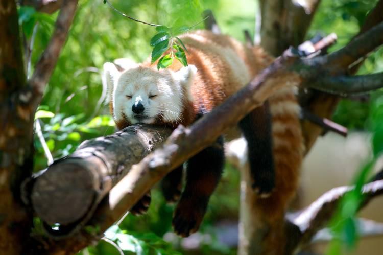 Por qué está en peligro el panda rojo