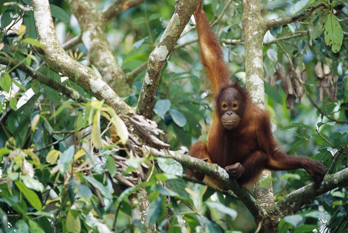 Afirman que los orangutanes de Borneo están muriendo de hambre por la falta de fruta