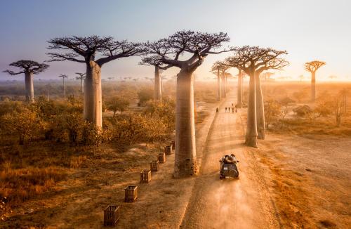 Un paseo entre gigantes por la asombrosa Avenida de los Baobabs