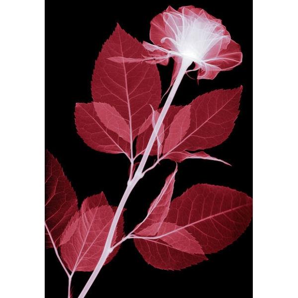 red-rose_1689410i
