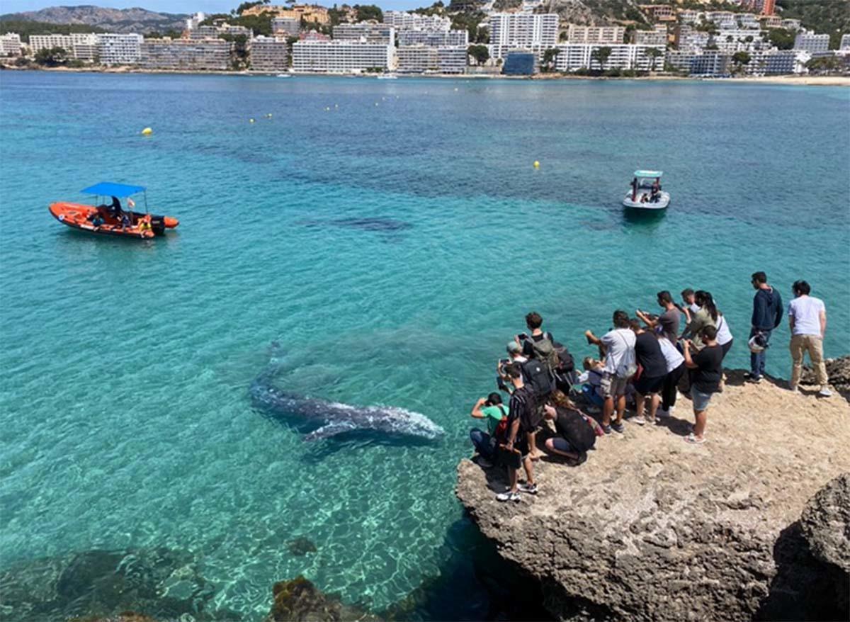 Consideran sacrificar a Wally, la ballena gris del Pacífico perdida en el Medite