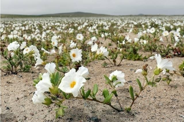 Un inusual fenómeno hizo florecer el desierto de Atacama y así se ve ahora
