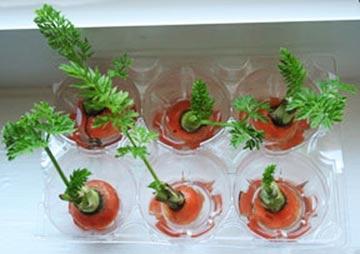 experimentozanahorias3