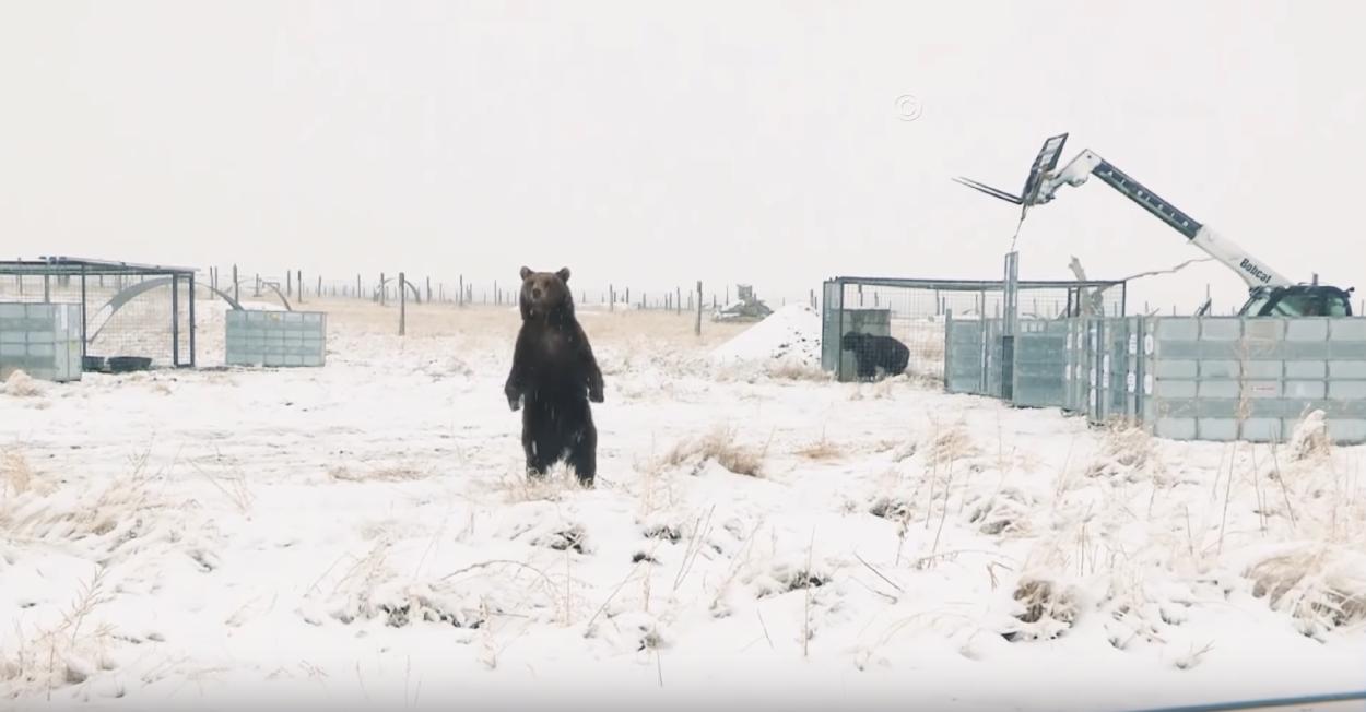 Cómo fue la liberación de los osos que vivieron 20 años enjaulados