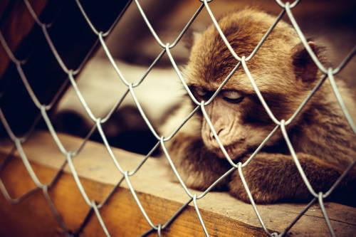 Encadenan y obligan a los monos a actuar frente a los turistas