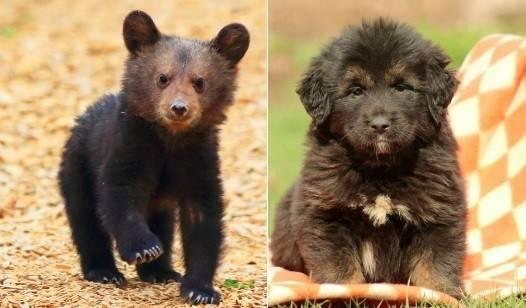 En china la gente está criando osos al confundirlos con perros: estas son las..