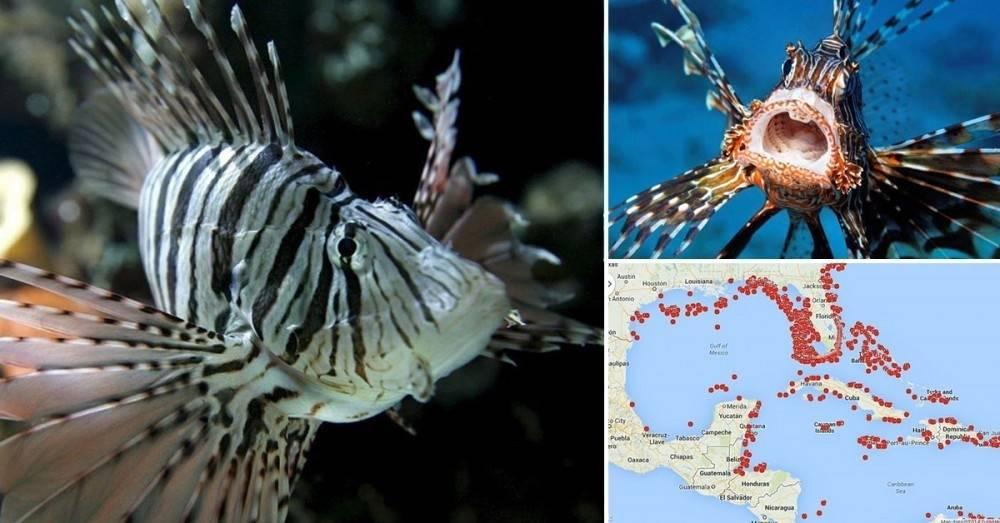 El pez mero y el pez león: una lucha que podría eliminar a una de las dos es..