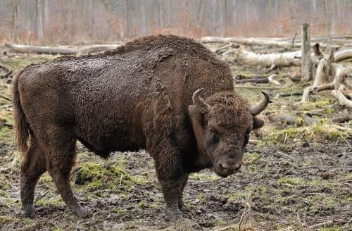 Ven al primer bisonte salvaje en 250 años... Pero en lugar de conservarlo, lo..