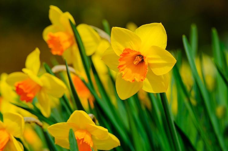 daffodils-4918917_1280