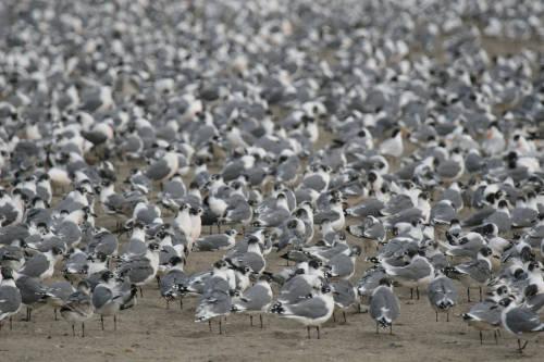 Cuarentena: las costas de Lima se convierten en el refugio de miles de aves