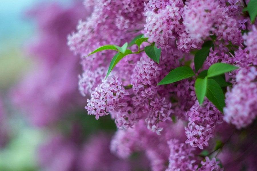 Lila: una planta ideal para un jardín aromático