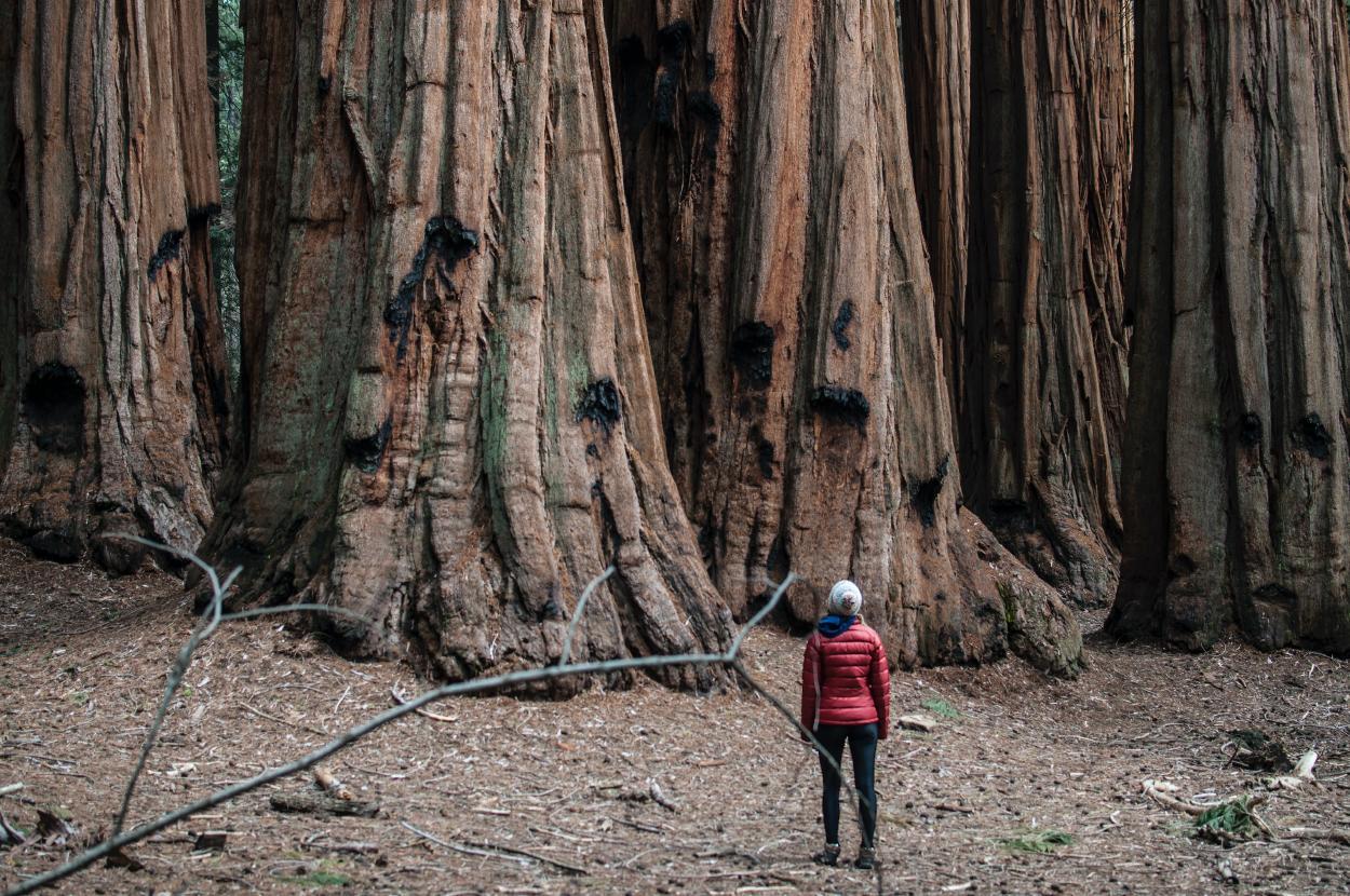 El hombre que clona y planta los árboles más antiguos del mundo