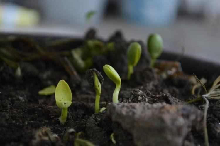 Brotes de plantas saliendo de la tierra