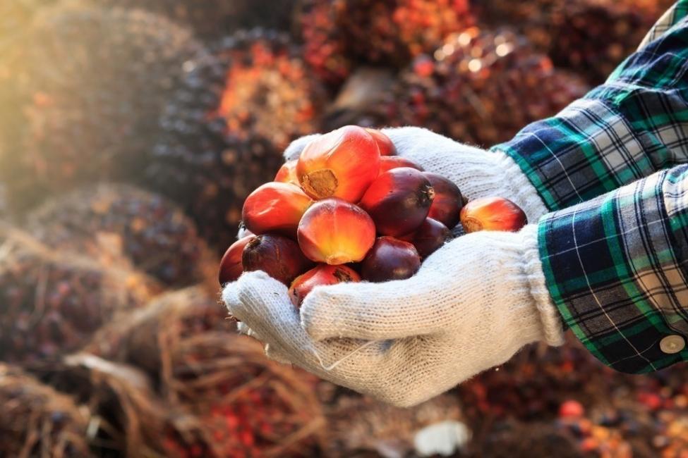fruto de la palma, aceite de palma