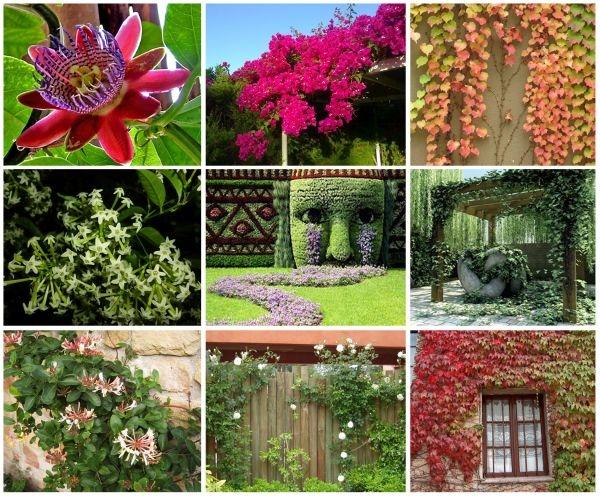 Variedad de enredaderas para espacios interiores y exteriores for Bioguia jardines