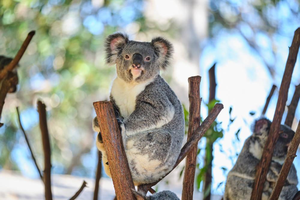 El rescate de un koala y la lucha contra la extinción de toda una especie