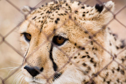Más de 4.000 guepardos fueron traficados como mascotas en la última década