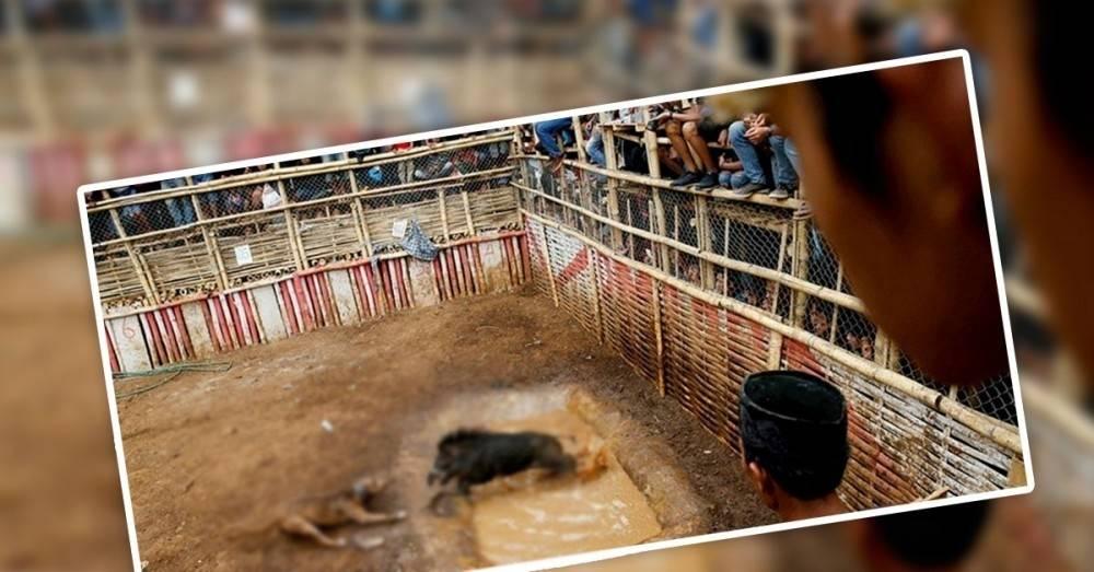 Crueldad infinita: en Indonesia obligan a perros y jabalíes a pelear a muerte
