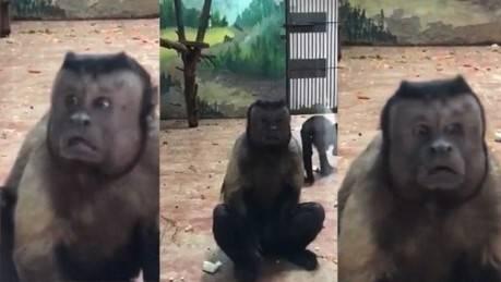 """Lo que nadie te cuenta sobre el mono con """"cara humana"""" que es una atracción e.."""