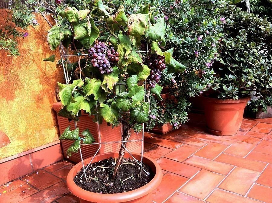 C mo cultivar uvas en tu casa for Como cultivar peces en casa
