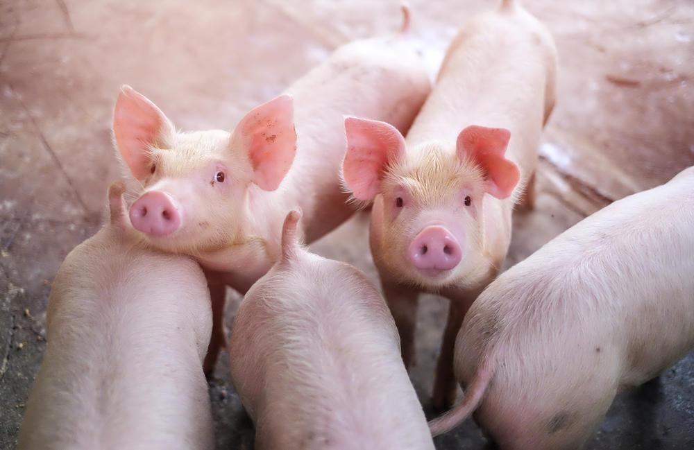 Alerta sin alarma: qué hacer frente al virus porcino con 'potencial pandémico' d