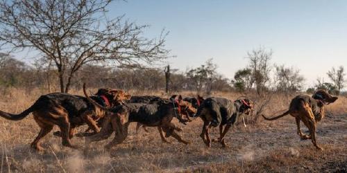 Perros-entrenados-Africa
