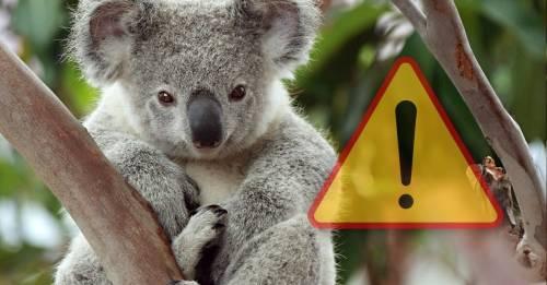 Los koalas están siendo exterminados por la razón más inesperada