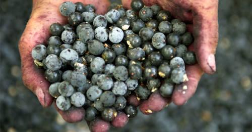 Acai: la fruta brasileña que es furor en el mundo por sus propiedades