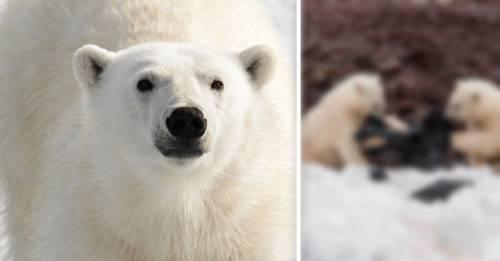 """El nuevo \""""juego\"""" de los osos polares que demuestra que estamos en peligro"""