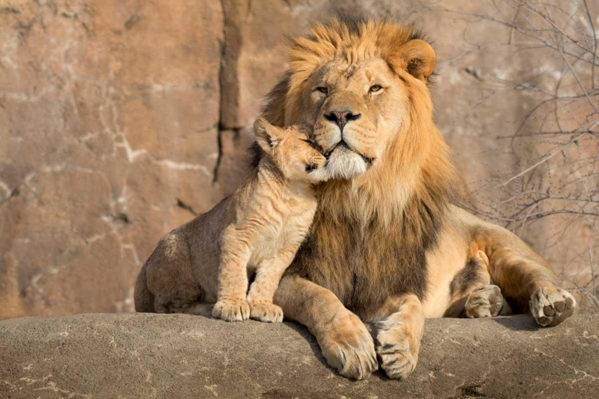 Nacieron 3 crías de león del Atlas en un zoológico de República Checa